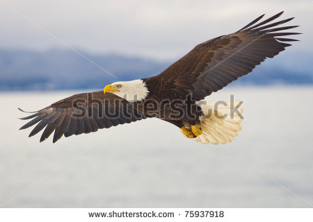 American Bald Eagle Soaring Over The Spit Of Homer Alaska Stock Photo