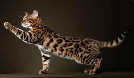 Bengal House Cat For Sale In Texas
