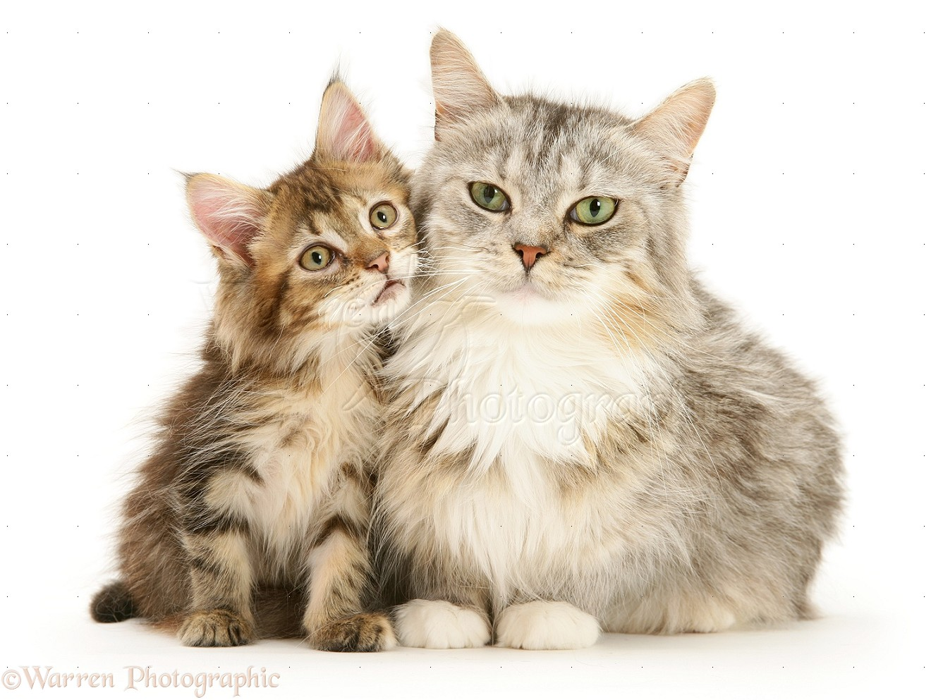 21923 Maine Coon Mother Cat And Kitten White Background Jpg