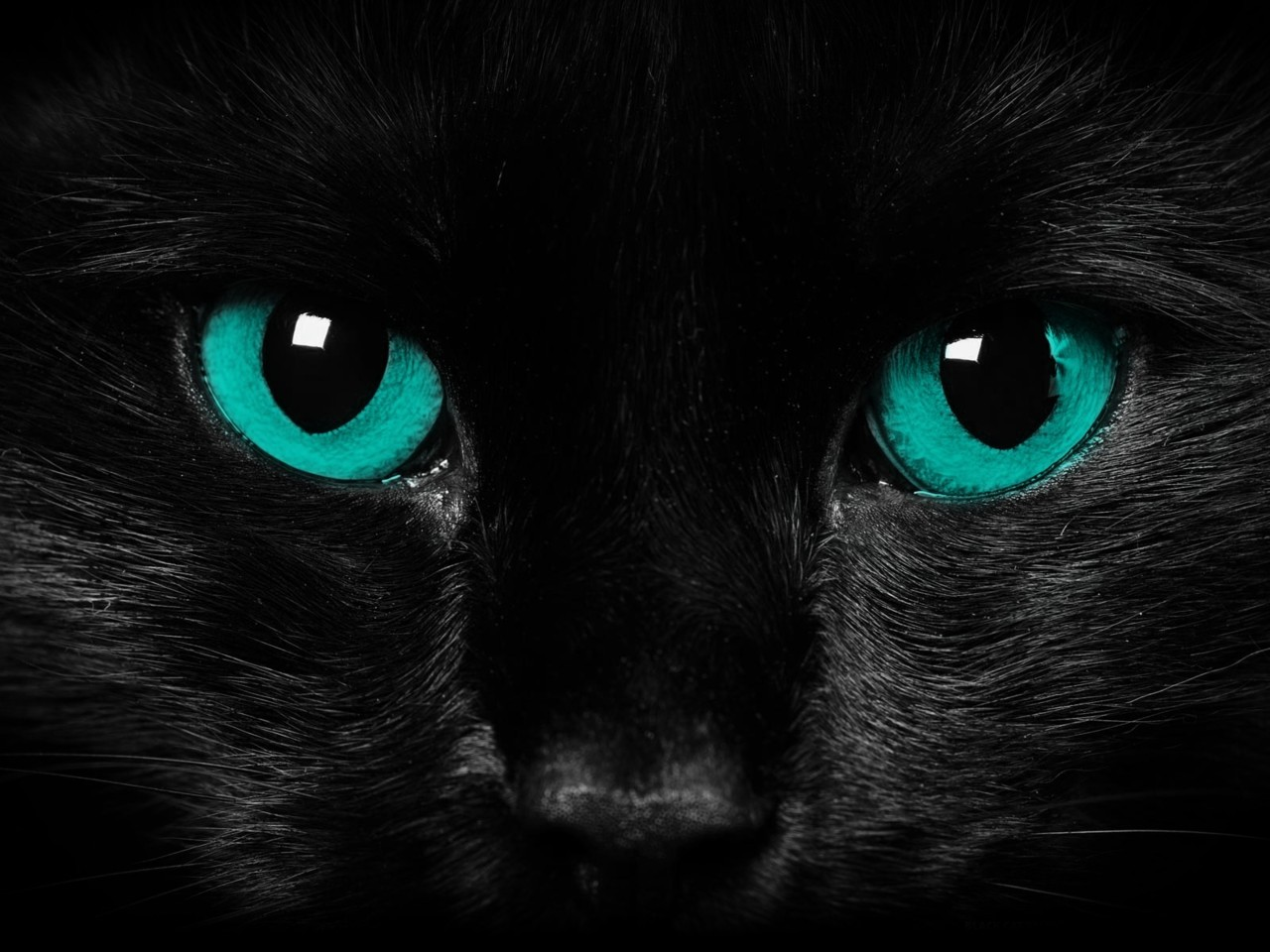 Black Cat Blue Eyes Cat Wallpaper    Animals Wallpaper  36524899