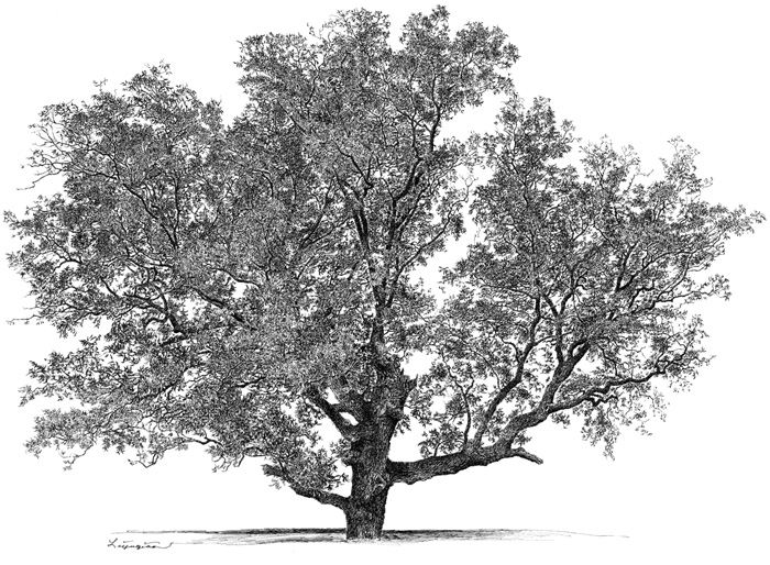 pecan tree black and white clipart clipart suggest